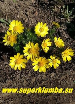 АДОНИС ВЕСЕННИЙ (Adonis vernalis) Светло-желтые блестящие крупные одиночные цветки, украшают сад в апреле-мае. Листва тонкая многократно рассеченная. Высота во время цветения 10-20 см, позже стебли вытягиваются до 40-50 см. Лекарственное растение, содержит сильнодействующий сердечный гликозид. НОВИНКА!  ЦЕНА  650 руб (делёнка)
