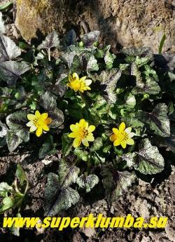 """ЧИСТЯК ВЕСЕННИЙ """"Бремблинг» (Ranunculus ficaria «Brambling») Простые цветы этого сорта с лихвой компенсируются фантастически красивой, яркой,  все время меняющейся  листвой.  Эфемероид- летом листва исчезает. Высота 10-15см, цветение апрель-май. НОВИНКА! ЦЕНА 300 руб (делёнка)"""