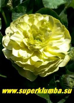 """ЧИСТЯК ВЕСЕННИЙ """"Дабл крем"""" (Ficaria verna «Double Cream»)    Цветок в полном роспуске. ЦЕНА 450 руб  (делёнка)"""