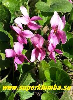 ФИАЛКА ДУШИСТАЯ «Ред Чарм» (Viola odorata «Red Charm») сорт с пурпурно-розовыми цветами, с сильным приятным ароматом, листья сердцевидные, мелкозубчатые, собраны в густые пучки, цветёт в мае и повторно в конце лета. НОВИНКА! ЦЕНА 200-250 руб (1 дел)