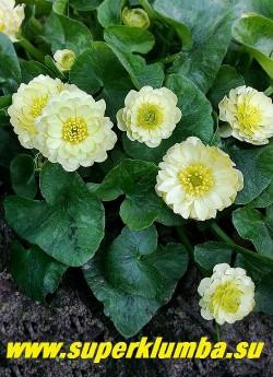 """ЧИСТЯК ВЕСЕННИЙ """"Дабл крем"""" (Ficaria verna «Double Cream»)  Махровые  очень крупные кремово-белые цветы и сочная темно-зеленая с вкраплениями серебряных пятен листва.  Эфемероид- летом листва исчезает. Высота 10-15см, цветение апрель-май.    ЦЕНА 450 руб  (делёнка)"""