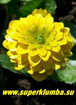 ЧИСТЯК ВЕСЕННИЙ «Флоре плена» (Ficaria verna «Flore Plena») Цветок крупным планом. Диаметр цветка 1,5-2см. НОВИНКА! ЦЕНА 350 руб (делёнка)