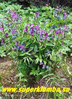 ЧИНА ВЕСЕННЯЯ (Lathyrus vernus) небольшой кустик со сложными перистыми листьями и довольно крупными соцветиями, меняющими цвет в процессе цветения от пурпурно-фиолетового до сине-голубого цвета.  Высота 35-30 см. Цветение в мае. НОВИНКА ! ЦЕНА 200 руб (делёнка)