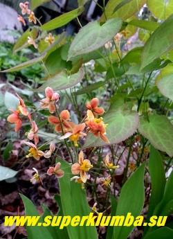 ГОРЯНКА ВАРЛИЙСКАЯ «Оранж Кенигин» (Epimedium x warleyense «Orange Konigin») плотные куртинки высотой до 45-50 см с яркими медно-оранжевыми цветами. Цветет с мая по июнь. Листва осенью краснеет. НОВИНКА!  ЦЕНА 350 руб (1 дел.)