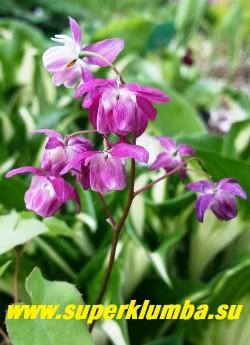 """ГОРЯНКА  ПЫШНАЯ """"Би май Валентайн"""" (Epimedium x youngianum """"Be My Valentine"""")   Пурпурно-красные наружные и   нежно розовые внутренние лепестки с  короткими белыми шпорами. Высота 20-25 см. НОВИНКА!  ЦЕНА 700 руб  (1 делёнка) НЕТ НА ВЕСНУ"""