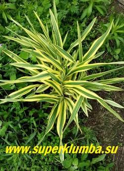 Лилейник ГОЛДЕН ЗЕБРА/МАЛЬЯ (Hemerocallis `Golden Zebra`/Malja)   Миниатюрый лилейник с очень нарядной и яркой листвой. Листья полосатые, зелёные с кремово-белыми краями, на ярком солнце кремово-жёлтыми. В июле распускаются золотисто-жёлтые цветки диаметром 5-7 см.  Высота 25-40 см.    НОВИНКА! ЦЕНА 450 руб (1 шт)