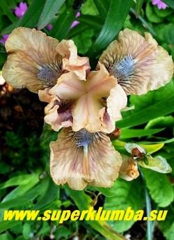 Ирис КОКОА   ПИНК (Iris Cocoa pink)  Стандартный карликовый.  Необычный цвет- смесь пастельно-розового и какао.  Бородки - лавандовые, коралловые  в горле. Высота 30 см. НОВИНКА!  ЦЕНА 250 руб