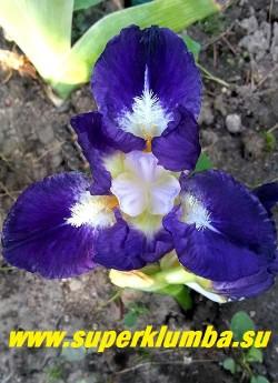Ирис ТРАЖЕКТОРИ (Iris Trajektory) Стандартный карликовый.    Темный контрастный пурпурно-синий цветок с белым сигналом на фолах, вокруг желтых бородок с большими белыми кончиками. Ароматный. Высота цветоноса 30-40 см.  НОВИНКА! ЦЕНА 250 руб  НЕТ НА ВЕСНУ