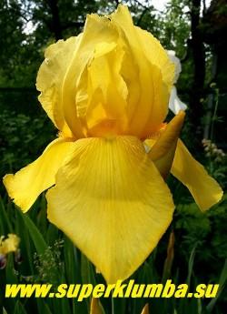 Ирис СПУН ГОЛД (Iris Spun Gold) ярко-желтый с бородкой в тон, чистого цвета, высота 80 см. Неприхотливый, стабильно цветущий.  НОВИНКА! ЦЕНА 150 руб