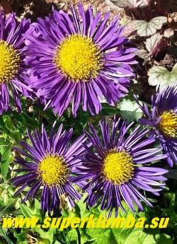 """АСТРА АЛЬПИЙСКАЯ """"ДАНКЕ ШОН"""" (Aster alpinus """"Dunkle Schone"""")  низкая, высотой всего 15-20 см,  летнецветущая многолетняя астра, цветы полумахровые темно-фиолетовые диаметром 4 см, цветение  июнь-июль. НОВИНКА! ЦЕНА 250 руб НЕТ НА ВЕСНУ"""
