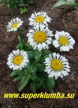 Нивяник ЛАКРОСС (Leucanthemum Lacrosse) новый супер мини сорт с белоснежными лепестками-трубочками и большим желтым центром.  Цветение в июне-июле, осенью возможно повторное цветение.  Высота 15-20 см.  НОВИНКА! НЕТ НА ВЕСНУ!