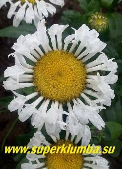 Нивяник ЛАКРОСС (Leucanthemum Lacrosse)  цветок крупным планом. НОВИНКА! НЕТ НА ВЕСНУ!