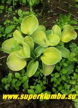 Хоста ДЖИАНТЛЭНД САННИ МАУЗ ИЭС (Hosta Giantland Sunny Mouse Ears)  размер D. В момент появления листья имеют сизо-зеленую окраску, позже становятся желтыми. Интенсивность желтого цвета будет зависеть от количества света. НОВИНКА! НЕТ В ПРОДАЖЕ.