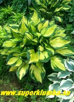 Хоста АЙЛЕНД ЧАРМ (Hosta Island Charm)  Размер SM. очень красивая хоста с плотными,  темно-зелеными с кремово-желтым широким центром листьями на розо-красных черешках.  Цветы темно-лавандовые. Куст плотный, компактный, бросается в глаза. НОВИНКА! ЦЕНА 400 руб (1 шт)