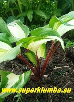 Хоста РАСПБЕРРИ САНДЕЙ (Hosta Raspberry Sundae)  Уникальная особенность сорта - красный штрих по белому центру листа - нарастает по мере взросления хосты. НОВИНКА!  ЦЕНА 800 руб