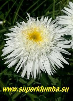 """Нивяник """"ВИРРАЛ СЬЮПРИМ"""" (Leucanthemum Wirral Supreme) полумахровые цветы с рассеченными кончиками нижних лепестков, множественными мелкими язычковыми лепестками вокруг желтого центра,  диаметр цветка 7-8 см, в процессе цветения серединка цветка приподнимается  вверх, нижние лепестки опускаются,  цветок становится """"выпуклым"""".  высота до 60 см, цветет июнь-июль.  ЦЕНА 250 руб (делёнка)"""