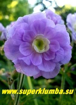 """ГЕРАНЬ ЛУГОВАЯ """"Саммер скайз"""" (Geranium  pratense """"Summer Skies"""") Цветок крупным планом.  Цветы практически идеальной формы, цветение очень длительное с июня.  Солнце-полутень. НОВИНКА! ЦЕНА 350 руб"""