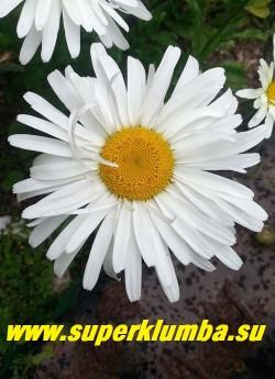 """Нивяник """"СПУНФУЛ ОФ ШУГА"""" (Leucanthemum """"Spoonful of Sugar"""")   сорт  """"Ложка сахара""""  обладает очень крупными 10-11см  цветами и компактными размерами, высота куста 40-45см.  Сливочно-белые цветки имеют два ряда очень длинных лепестков, серединка  ярко-желтая. НОВИНКА! ЦЕНА 300 руб   (делёнка)"""