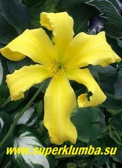 Лилейник ЭМЕРАЛЬД АЙСЛ  (Hemerocallis   Emerald Isle)   Лимонные с зеленоватым горлом крупные звездообразные цветки с легким ароматом, диаметр цветка - 16 см.  Высота - 100 см. Относится к группе лилейников необычной формы -  паукообразный - каскадный. Полувечнозеленый, диплоид. Цветение в августе. НОВИНКА! ЦЕНА 400 руб. НЕТ НА ВЕСНУ.