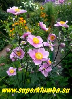 АНЕМОНА ГИБРИДНАЯ «Септембе Чарм» (Anemone × hybrida «September Charm»)  НОВИНКА! ЦЕНА 200-250 руб (делёнка)