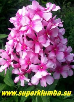 Флокс метельчатый МИСС ЭЛЛИ (Phlox paniculata Miss Ellie) Holland, СП, 90/2-3. Светло-розовый с большим размытым карминным глазком, цветы звёздчатые, лепестки слегка волнистые, отделены один от другого.   Соцветие округло-коническое, очень плотное,  взъерошенное, благодаря своеобразной форме цветов.  Очень нарядный, узнаваемый сорт. ЦЕНА 250 руб (1 шт) или  500 руб  (кустик 3-4шт )