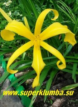 Лилейник ГОЛД СПАЙДЕР (Hemerocallis Gold spider)  Спайдер. необыкновенно красивый желтый «паук». Желто-лимонные узкие, заостренные, скрутившиеся в спирали лепестки с бежевыми мазками у основания, напоминает экзотическую орхидею, огромные цветы диаметром 22 см, высота 90 см, ЦЕНА 350 руб (1 шт)