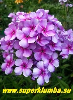 Флокс метельчатый СВИРЛИ БЕРЛИ (Phlox paniculata Swirly Burly) Голландия, СП, 70/2/ Цветы некрупные серебристо-лавандовые с фиолетово-пурпурными глазком и тенями . Сорт обильноцветущий выносливый, хорошо нарастающий. Не выгорает. ЦЕНА 250 руб (1 шт) или  500 руб  (кустик 3-4шт ) НЕТ НА ВЕСНУ