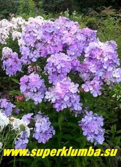 Флокс метельчатый НЕЗАБУДКА (Phlox paniculata Nezabudka) Константинова 2002, С, 70/4,3.  Новый флокс с крупными сиреневыми днем и голубыми вечером цветами по форме напоминающими незабудку, соцветие полушаровидное, куст прочный. ЦЕНА 250 руб (1 шт)  или 500 руб (кустик: 3-4 шт)