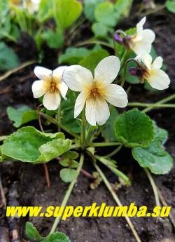 ФИАЛКА ДУШИСТАЯ ФОРМА ЖЕЛТАЯ  (Viola odorata f.sulpurea) многолетняя фиалка с необычной окраской, кремово-желтые цветы с абрикосовым румянцем и небольшими фиолетовыми тенями на изнанке лепестков..   с  приятным ароматом,  листья  сердцевидные мелкозубчатые,   высота 5-10 см, цветёт в мае. НОВИНКА! ЦЕНА 300 руб (1 дел).