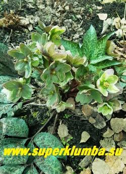 """МОРОЗНИК ГИБРИДНЫЙ  """"Винтер Мунбим""""  (Helleborus """"Winter Moonbeam"""") Цветы крупные, бело-розовые, затем становятся ярко-зелеными.  НОВИНКА!  НЕТ В ПРОДАЖЕ"""