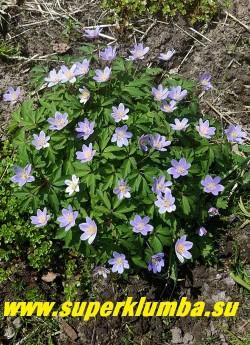 """АНЕМОНА ДУБРАВНАЯ """"Робинсониана"""" (Anemone nemorosa """"Robinsoniana"""") Красивая разновидность  с крупными  блестящими  голубыми цветами,  листья бронзово-зелёные,  диаметр цветка 4 см, высота растения 15 см, цветет с мая. Полутень. Эфемероид.     ЦЕНА 300 руб (делёнка)"""