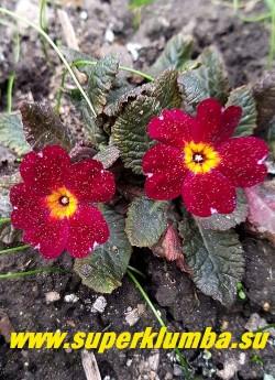 Примула бесстебельная   ИННИСФРИ (primula vulgaris Innisfree)  Новая серия с темноокрашенными шоколадного цвета  листьями. Цветы темно-красные  с ярким желтым глазком. Высота 10 см. НОВИНКА! ЦЕНА 400 руб (штука)  НЕТ НА ВЕСНУ.