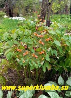 ГОРЯНКА ВАРЛИЙСКАЯ «Оранж Кенигин» (Epimedium x warleyense «Orange Konigin») плотные куртинки высотой до 45-50 см с яркими медно-оранжевыми цветами. Цветет с мая по июнь. Листва осенью краснеет. НОВИНКА!  ЦЕНА 350 руб (1 делёнка)