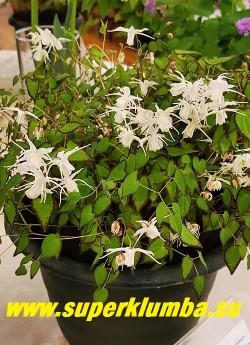 ГОРЯНКА КРУПНОЦВЕТКОВАЯ «Бандит» (Epimedium grandiflorum var. higoense Bandit) Замечательный сорт с яркой, впечатляющей листвой с четко очерченным темным краем.  Соцветия из довольно крупных чисто белых цветов. Высота 25-30 см. Цветет обильно в мае-июне. НОВИНКА!  ЦЕНА 1000 руб (1 деленка)