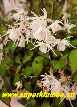 ГОРЯНКА КРУПНОЦВЕТКОВАЯ «Бандит» (Epimedium grandiflorum var. higoense Bandit) Соцветие крупным планом. НОВИНКА! ЦЕНА 1000 руб (1 делёнка)