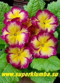 Примула бесстебельная «САЛЮТ ПОБЕДЫ»  крупные  светло-лимонные с ярко-вишневым краем и желтой серединой  цветы. Высота до 10 см, цветет в мае-июне, НОВИНКА! ЦЕНА 400 руб (штука) НЕТ НА ВЕСНУ.