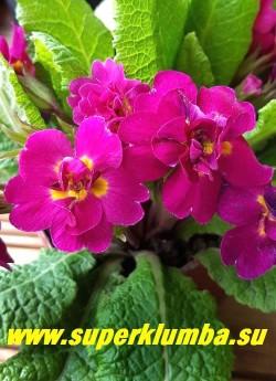 Примула бесстебельная  махровая   МИСС ДОРИС  (Primula vulgaris  Miss Doris)   Крупные   махровые  бархатные свекольно-малиновые с маленькой желтой   серединкой  цветы. НОВИНКА!  ЦЕНА 450 руб (штука) НЕТ НА ВЕСНУ