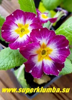 Примула бесстебельная «СВЕКОЛЬНАЯ С БЕЛЫМ ЦЕНТРОМ»  очень яркие свекольные  цветы с маленьким желтым центром и большой белой серединой. Высота  10-12 см, цветет в мае-июне, НОВИНКА!  НЕТ В ПРОДАЖЕ.