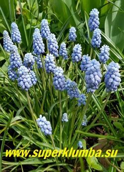 """МУСКАРИ АРМЯНСКИЙ """"Валерий Финнис"""" (Muscari armeniacum """"Valerie Finnis"""") Прелестные плотно-набитые жемчужно-голубые соцветия с небольшим """"хохолком"""" на верхушке. Высота 10-15 см. Цветет в мае. НОВИНКА!  ЦЕНА 200 руб (5 шт)"""