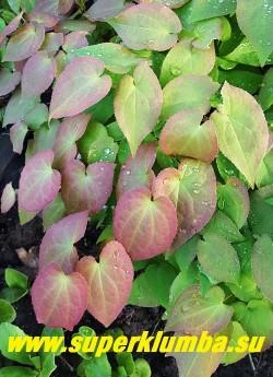 """ГОРЯНКА КРУПНОЦВЕТКОВАЯ """"Кримсон бьюти"""" (Epimedium grandiflorum """"Crimson beauty"""") Молодая листва  малиново-розовая.  ЦЕНА 500 руб  (1 делёнка)"""