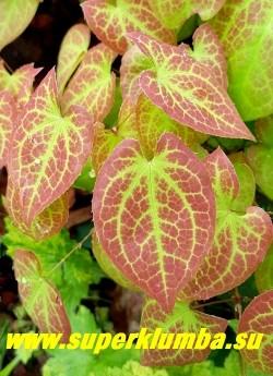 ГОРЯНКА РАЗНОЦВЕТНАЯ вар. СЕРНОЖЕЛТАЯ (Epimedium x versicolor var. sulphureum) листва крупным планом. ЦЕНА 200-350 руб (1 делёнка)