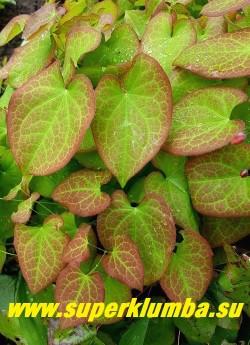 ГОРЯНКА ВАРЛИЙСКАЯ «Оранж Кенигин» (Epimedium x warleyense «Orange Konigin») молодая с розовым рисунком  листва очень нарядная. НОВИНКА!  ЦЕНА 250-350 руб (1 делёнка)