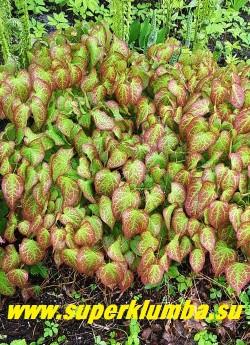на фото молодая листва ГОРЯНКИ КРАСНОЙ (Epimedium x rubrum) пурпурная по краю и вдоль жилок, листья зимующие.   ЦЕНА 250-350 руб (делёнка)