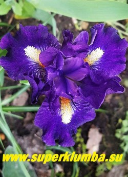 Ирис ВИШ АПОН Э СТАР (Iris Wish upon a star) Стандартный карликовый. Гофрированный. Контрастный  темно фиолетово-синий  с крупной белой бородкой в глубине которой кончики мандариновые, очень красивый сорт!Высота  33 см Срок цветения средне-ранний Награды: HM '08, AM '10. НОВИНКА! НОВИНКА! ЦЕНА 250 руб  НЕТ НА ВЕСНУ