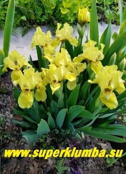 Ирис БРЭССИ (Iris Brassie) куст в саду.  ЦЕНА 150 руб