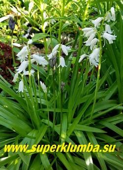 """СЦИЛЛА ИСПАНСКАЯ  """"АЛЬБА"""" (Еndymion hispanicus White Triumphatorе) Белоснежные колокольчатые цветки 1,5-2 см в диаметре, собраны по 8-20 в прямостоячее, кистевидное соцветие на высоких до 30 см цветоносах, цветет в начале июня 15 дней, НОВИНКА! ЦЕНА 200 руб (3 шт)"""