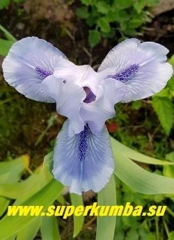 Ирис БЕДФОРД ЛАЙЛЕК (Iris Bedford Lilac) Стандартный карликовый. Голубой с парящими нижними лепестками и темно-голубой бородкой с «изморосью». Высота до 25 см, Ранний. НОВИНКА! ЦЕНА 150 руб ( 1шт) или 250 руб (кустик-деленка из 2-3 лопаток)