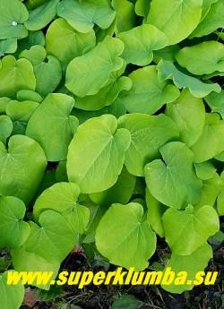 """ГОРЯНКА ПЕРАЛЬХИКУМ """"Фронлейтен"""" (Epimedium x perralchicum """"Frohnleiten"""") Листва  крупным планом. Листва   образует очень плотный декоративный зеленый покров. ЦЕНА 250-350 руб (1 деленка )"""