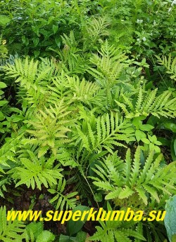 ОНОКЛЕЯ ЧУВСТВИТЕЛЬНАЯ (Onoclea sensibilis) красивый древнейший папоротник с изящными светлозелеными перисторассеченными листьями, которые весной имеют бронзово-розовую окраску.  ЦЕНА 200-250 руб (делёнка)