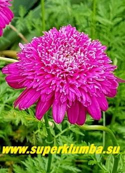 """ПИРЕТРУМ ГИБРИДНЫЙ """"Махровый розовый"""" (Pyrethrum hybridum f. flore plena rosea) цветок крупным планом.  ЦЕНА 350 руб (1 шт)"""